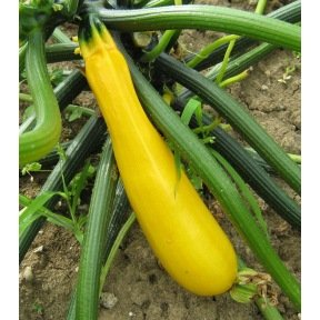 Courgette jaune Gold Rush