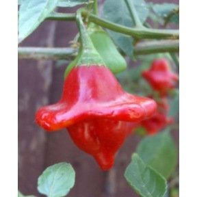 Piment Bishop crown