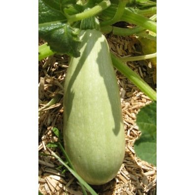 Courgette blanche d'Egypte