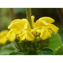 Phlomis jaune