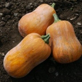 Courge musquée Honeynut