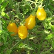 tomate cerise poire jaune