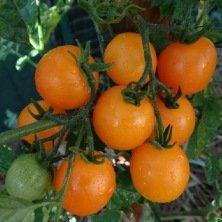 Tomate cerise jaune ronde