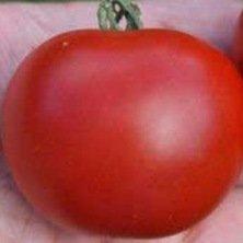 Tomate Matina