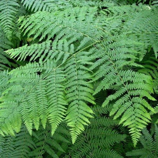 Fougère [plante sèche] - 200gr