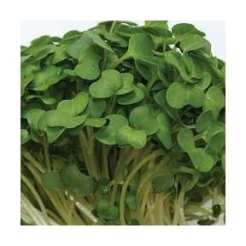 Graines à germer - Broccoli