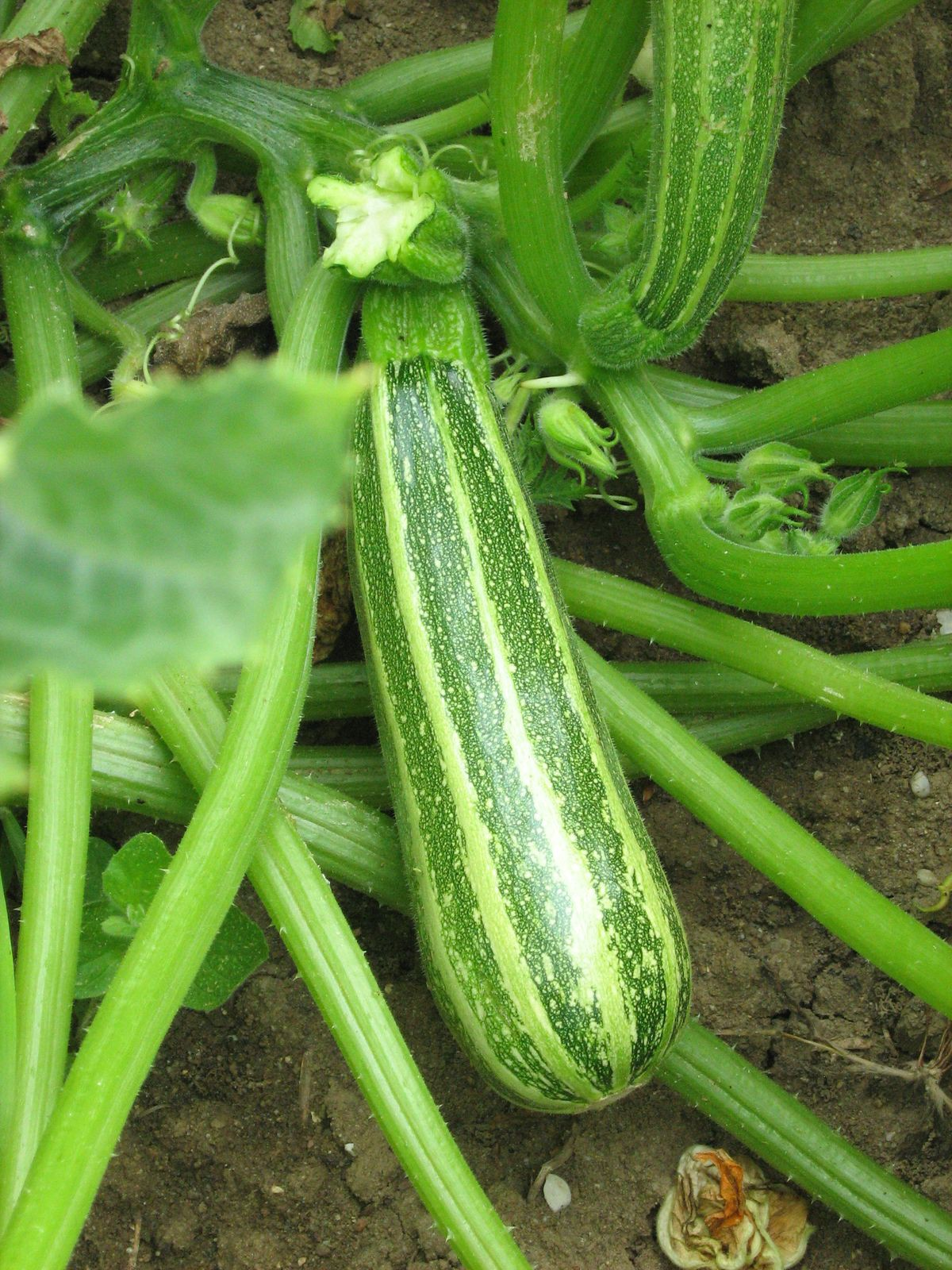 Graines de courgette verte d 39 italie bio - Maladie de la courgette ...