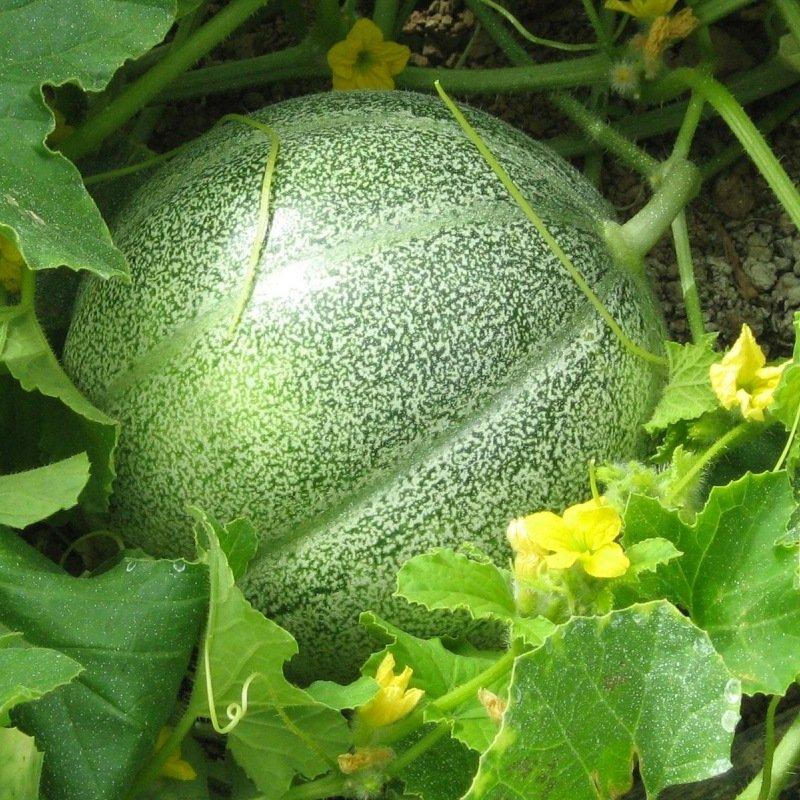 15 Graines De Melon Petit gris De Rennes Méthode Bio