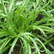Plantain Corne de Cerf