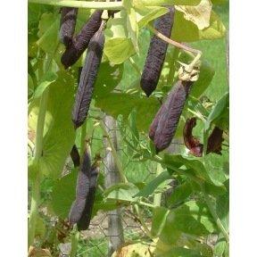 Pois à rames à Cosse violette Blauwschokkers
