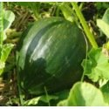Potiron Vert Olive