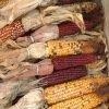 Maïs à grains multicolores des Indiens