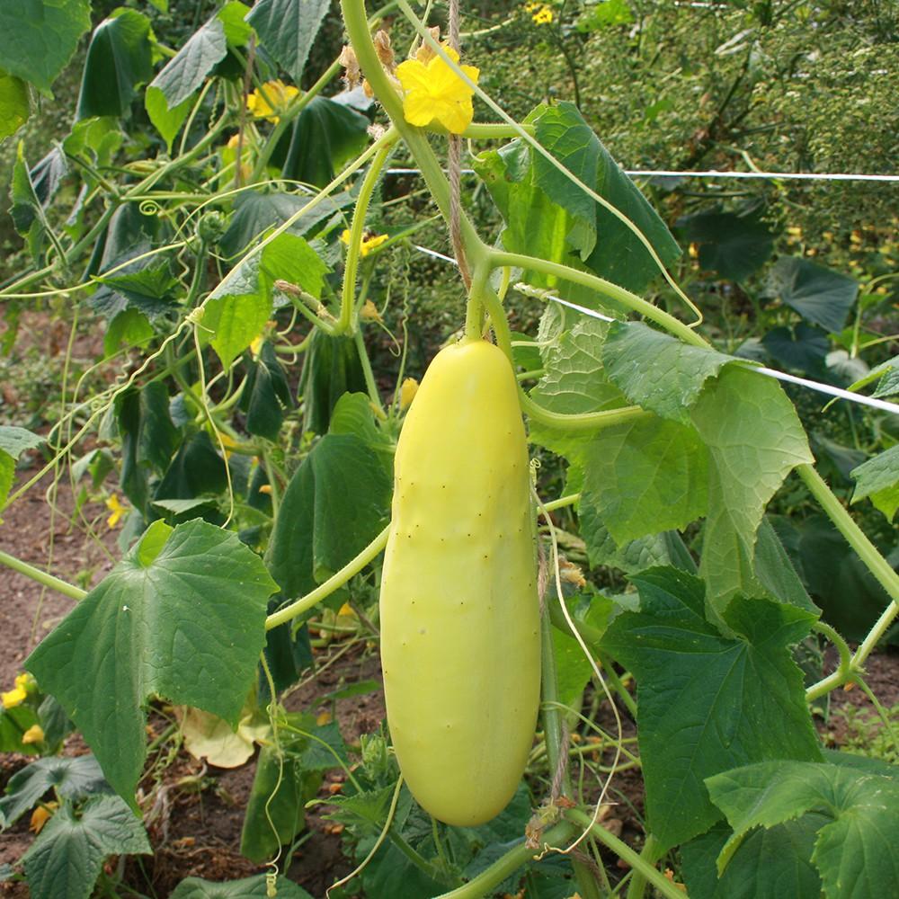 Variete de concombre il existe environ varits de concombre la varit amricaine est plus trapue - Variete de cornichon ...