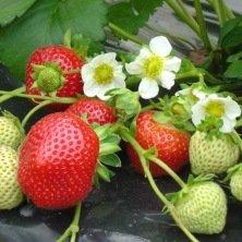 Plants de fraisier remontant Maestro - 25 plants - Calibre C