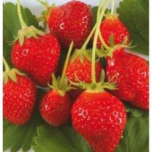 plants de fraisier remontant Cirafine -25 plants- Calibre B