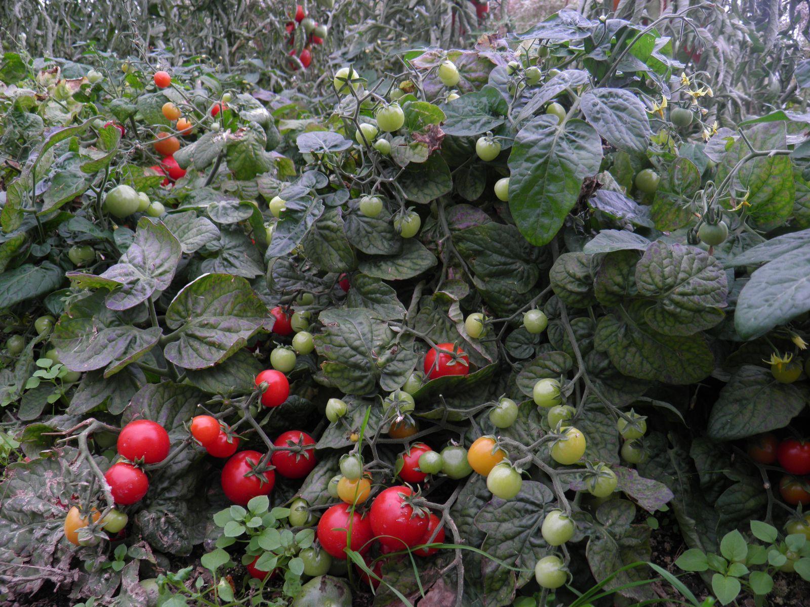 Planter Des Tomates En Pot graines bio de tomate japonaise basse