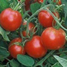 Tomate rouge Glacier