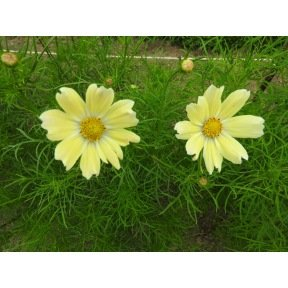 Cosmos Late sensation Yellow
