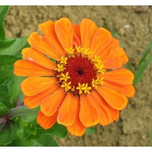 Zinnia à grandes fleurs