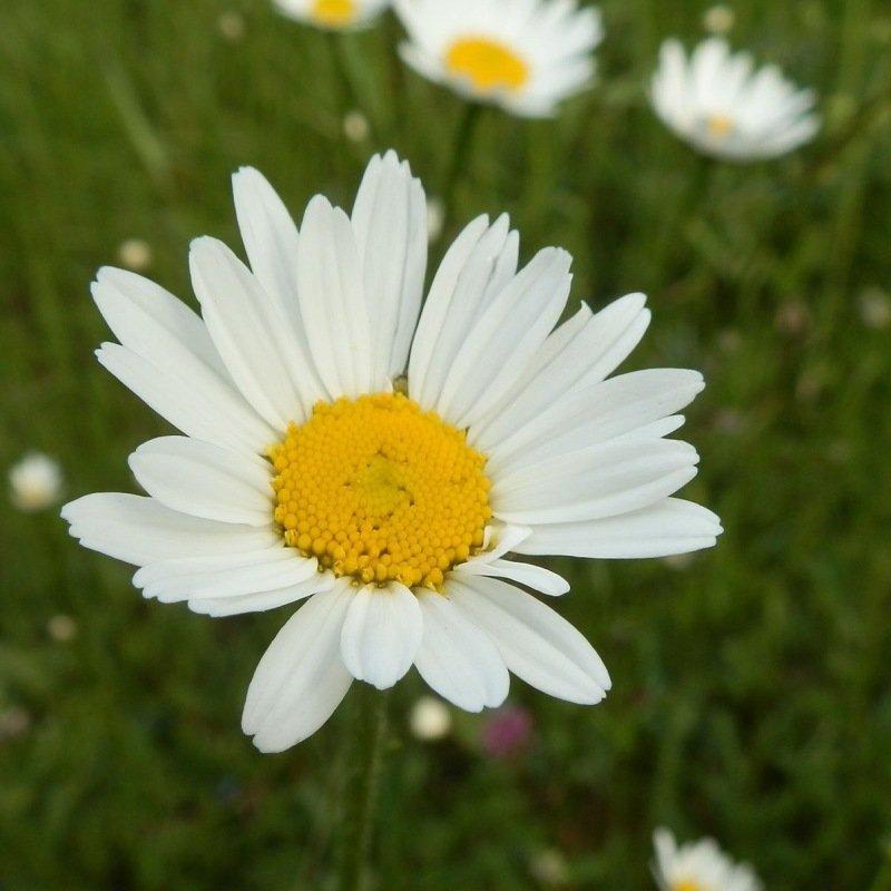 Marguerite des pr s - Image fleur marguerite ...