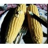 Maïs doux Mezdi