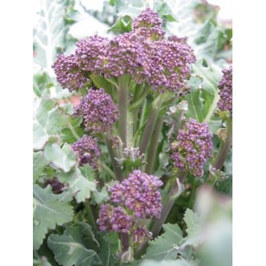 Chou Brocoli à jets violets