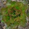 Laitue pommée d'hiver Baquieu