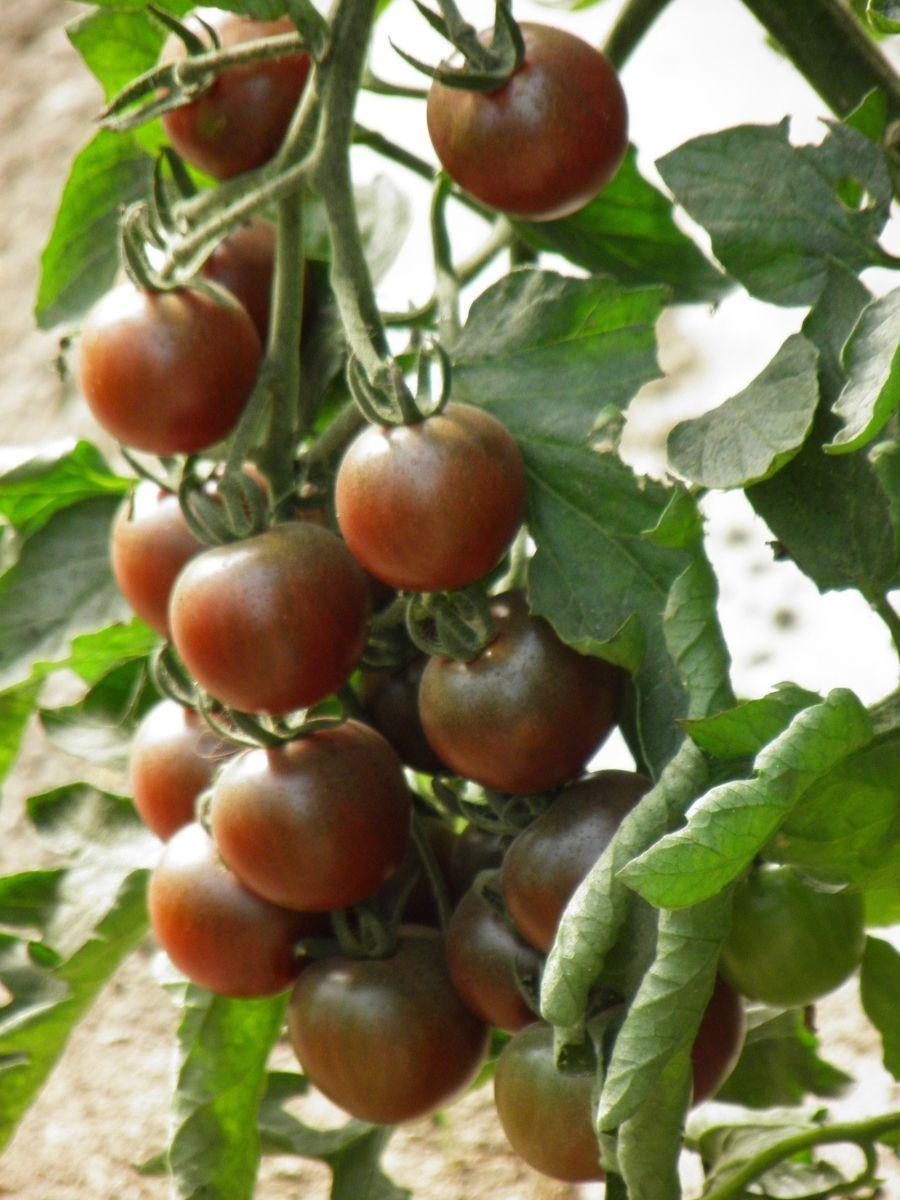 Tomate En Pot Conseil graines bio de tomate black cherry