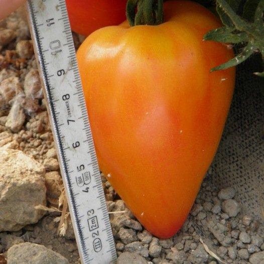 Tomate Coeur de Boeuf Russian 117