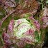 Laitue pommée d'hiver Grand-Mère à feuilles rouges