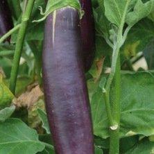 Aubergine longue violette de Barbentane