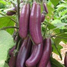 Aubergine Puso Purple Cluster