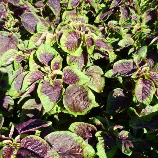 Amaranthe Tricolore