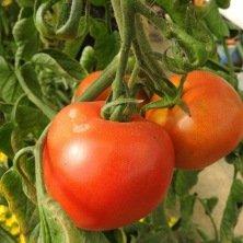 Tomate rouge Corma (lignée 1 de gembloux)