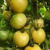 Tomate Blanche de Picardie