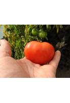 Tomate Reine des hatives