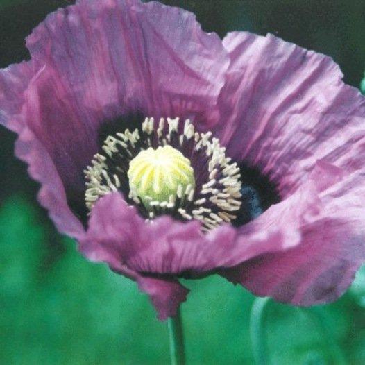 Pavot violet simple