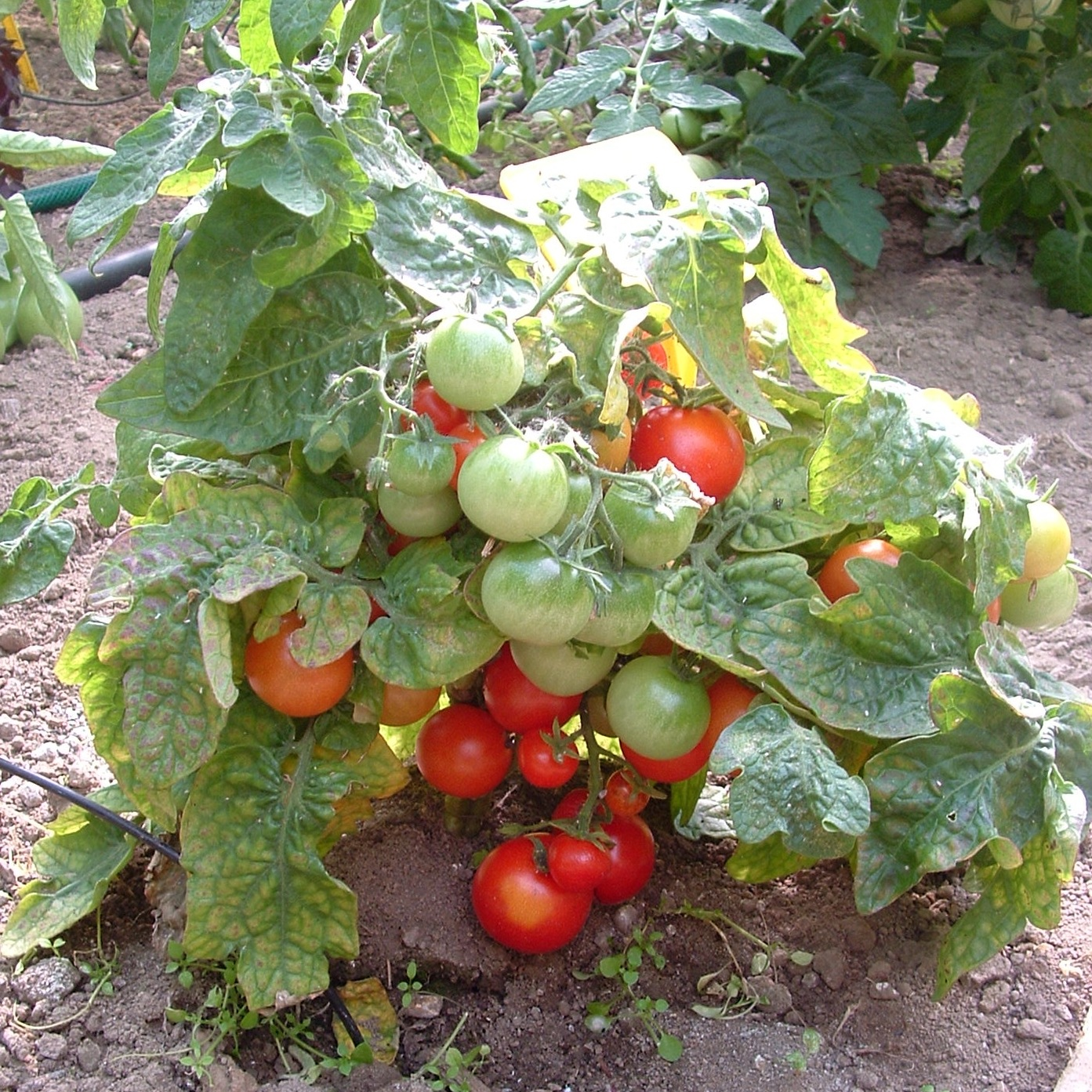 Tomate En Pot Conseil graines bio de tomate robin rouge