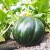 Melon Belge de Patjottenland