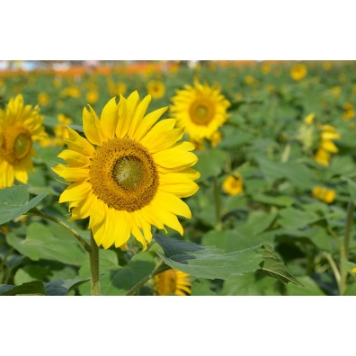 Tournesol grand jaune