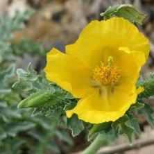 Pavot Cornu - Glaucière jaune