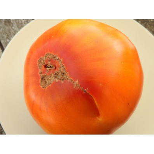Tomate Pamplemousse du Grand-Père