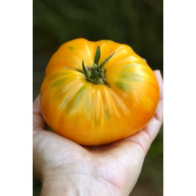 Tomate Big White Pink Stripes