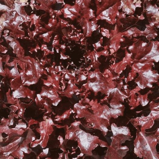 """Laitue à couper Feuilles de chêne rouge """"Red Salad Bowl"""""""