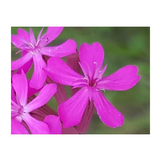 Silène à bouquets