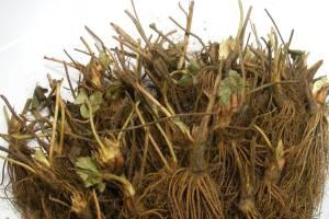 racines-nues-fraisiers-belgique-france