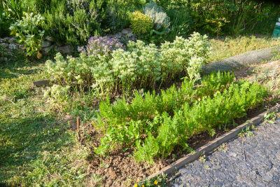 Plantes compagnes au potager