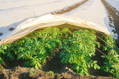 Voile de croissance pour protéger les semis contre le gel